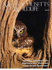 MASSACHUSETTS WILDLIFE magazine